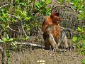 Proboscis Monkey (Nasalis larvatus) male (6707342671).jpg
