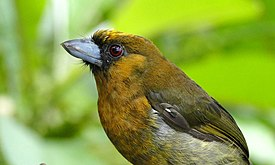 Prong-billed Barbet.jpg
