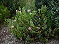 Protea compacta bush.jpg
