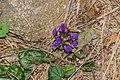 Prunella grandiflora in PNR Pyrenees ariegeoises 01.jpg