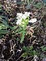 Prunella laciniata sl28.jpg