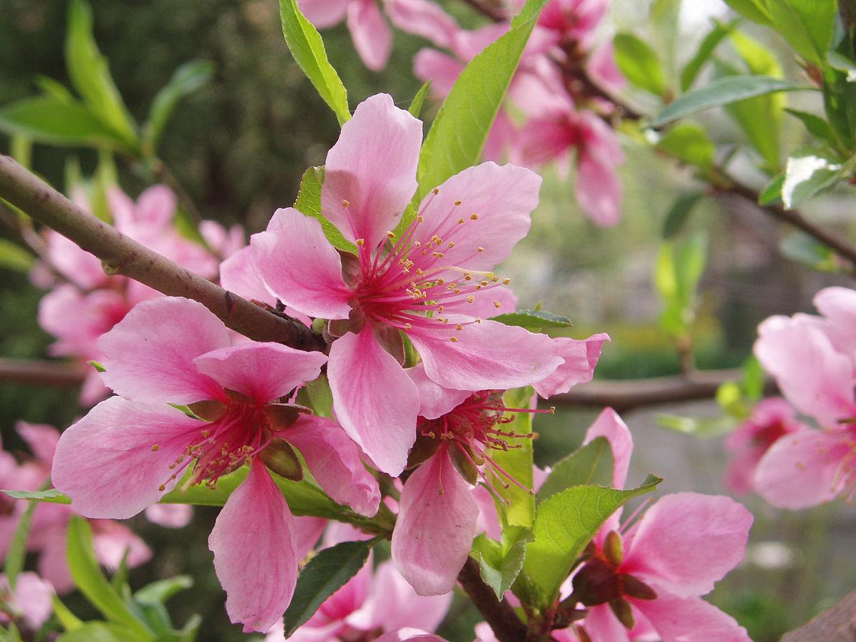 Bloom clock keys global temperate mid spring pink flowers for The peach tree