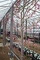Prunus persica var. nucipersica Lafayette 2zz.jpg