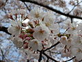 Prunus sp in Takaoka Kojo Park 06.jpg