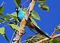 Psephotus dissimilis -Northern Territory, Australia -male-8.jpg