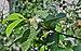 Psidium guajava flower 26032014 02.jpg
