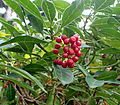 Psychotria capensis kz2.JPG