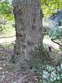 Pterocarya redheriana al jardí botànic vell P1250813.jpg