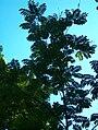Pterocarya rhoifolia Japaninsiipipähkinä HP6119 C.jpg
