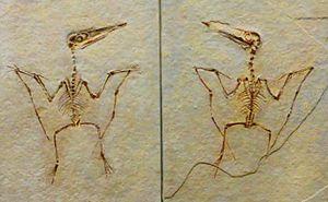 Pterodactylus - Juvenile specimen of P. antiquus