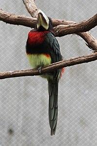 Pteroglossus azara -Philadelphia Zoo, Pennsylvania, USA-6a