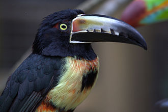 Collared aracari - Upper body