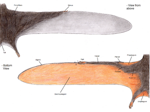 Patagium - Pterosaur wing anatomy showing the propatagium and brachiopatagium