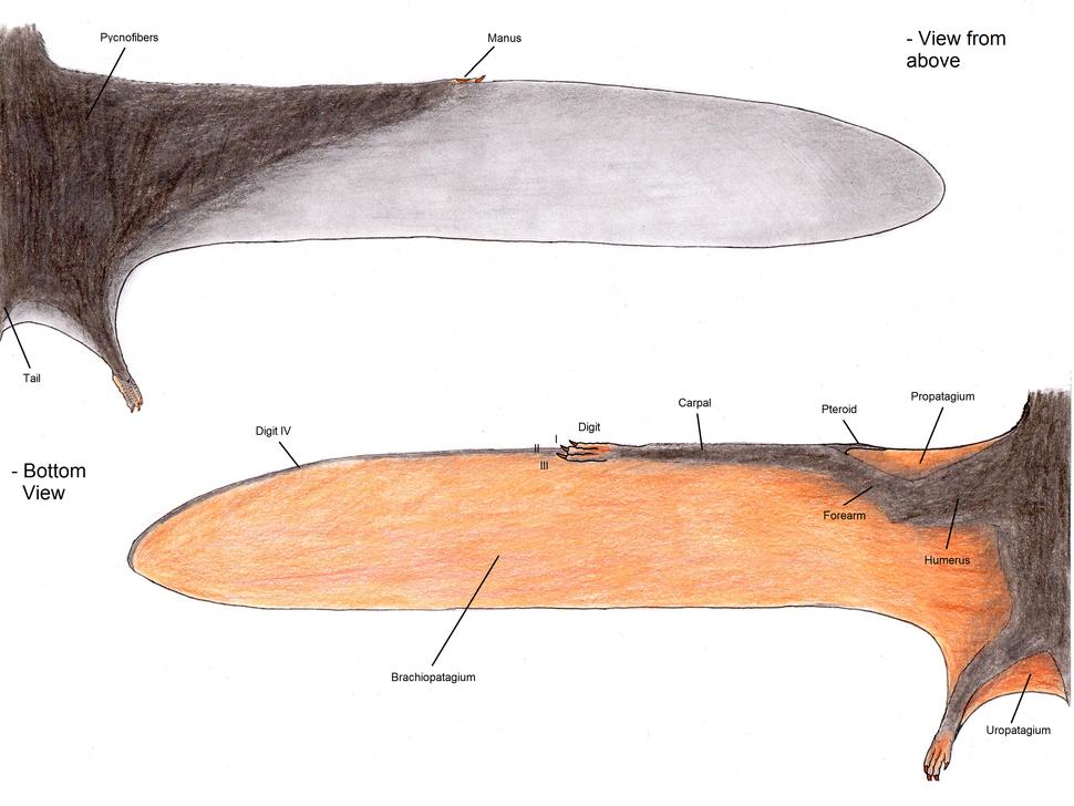 Pterosaur Wing Anatomy