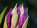 Purple buds (14071571738).jpg