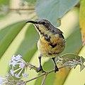 Purple sunbird (Cinnyris asiaticus asiaticus) male non breeding Udaipur.jpg