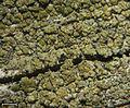 Pycnora xanthococca - Flickr - pellaea (1).jpg