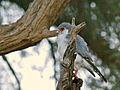 Pygmy Falcon (Polihierax semitorquatus) male (6880822118).jpg