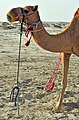 Qatar, camellos 3.jpg