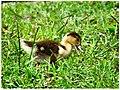 Quack - Flickr - pinemikey.jpg