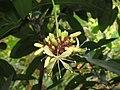 Quassia indica - Niepa Bark Tree flowers at Peravoor (1).jpg