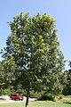 Quercus acutissima 11zz.jpg