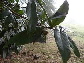 Quercus humboldtii - Leaves and fruit of Quercus humboldtii