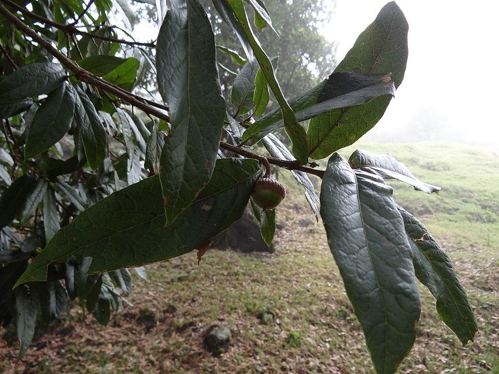 Quercus humboldtii 1