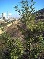 Quercus pyrenaica Puertollano.jpg