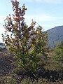 Quercus pyrenaica habitus 1November2009 DehesaBoyalPuertollano.jpg