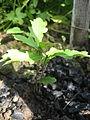 Quercus robur 2 years old.JPG