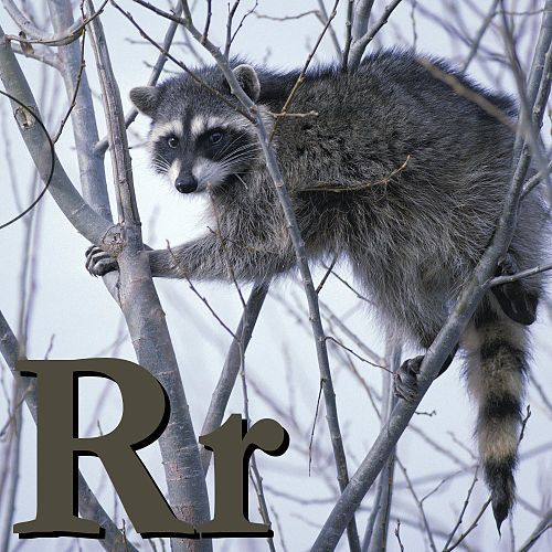 R is for Raccoon.jpg