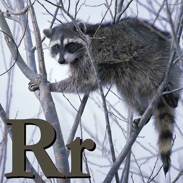 Файл:R is for Raccoon.jpg