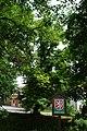 Rakovník, Nový Mlýn, památný strom.jpg