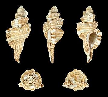 Ranularia tripa (Lamarck, 1822), Tripus Triton; Length 8.3 cm; Originating from India