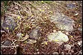 Ranunculus flammula 2-eheep (5097346155).jpg