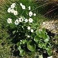 Ranunculus lyallii3 by Peter de Lange.jpg