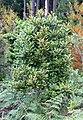 Rapanea melanophloeos - Cape Town - Trees - 5.JPG