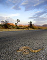 Rattlesnake crossing the road (20679971373).jpg
