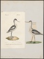 Recurvirostra avocetta - 1700-1880 - Print - Iconographia Zoologica - Special Collections University of Amsterdam - UBA01 IZ17400161.tif