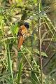 Red-bellied paradise flycatcher (Terpsiphone rufiventer).jpg