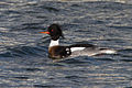 Red-breasted Merganser (Mergus serrator) (13667484045).jpg