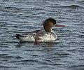 Red-breasted merganser- Bolsa Chica Wetlands (4412427449).jpg