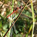 Red-veined Darter. Sympetrum fonscolombii. mating pair - Flickr - gailhampshire.jpg