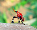 Red Epiptera europea.jpg