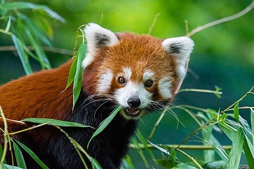 Red Panda (36790494604)
