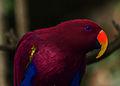 Red Parrot (4253824273).jpg