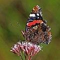 Red admiral butterfly (Vanessa atalanta) underside 3.jpg