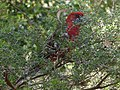Red bird in a tree.jpg