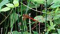 Red dragon fly Mara (2).jpg